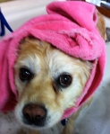 Towel wrapped snugly around the ears and neck keeps a dog from being disturbed by the high velocity dryer.