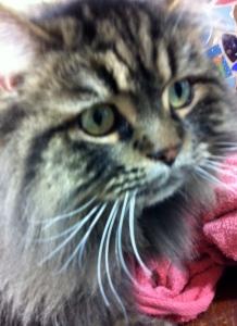 Foster Cat Jack