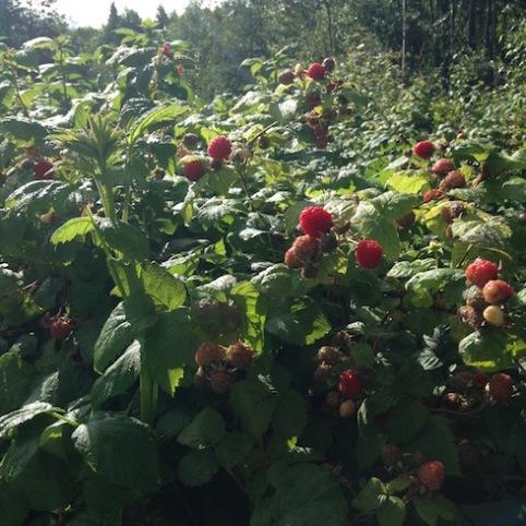 Raspberries2016