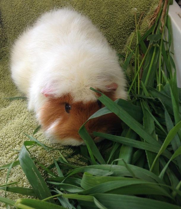 Taffy Pig