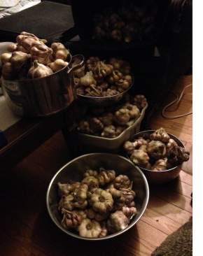 Counting blessings, or garlic bulbs…
