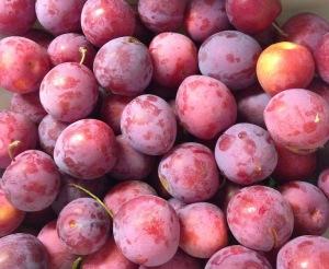 Pembina plums 2016