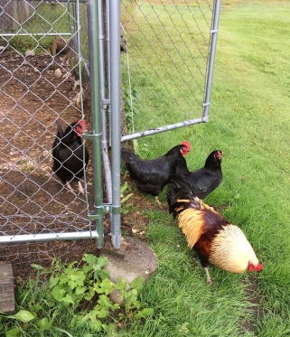Chickens Storm the gate