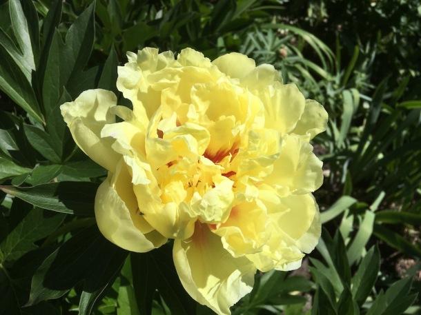 Yellow Peony - Bartzella