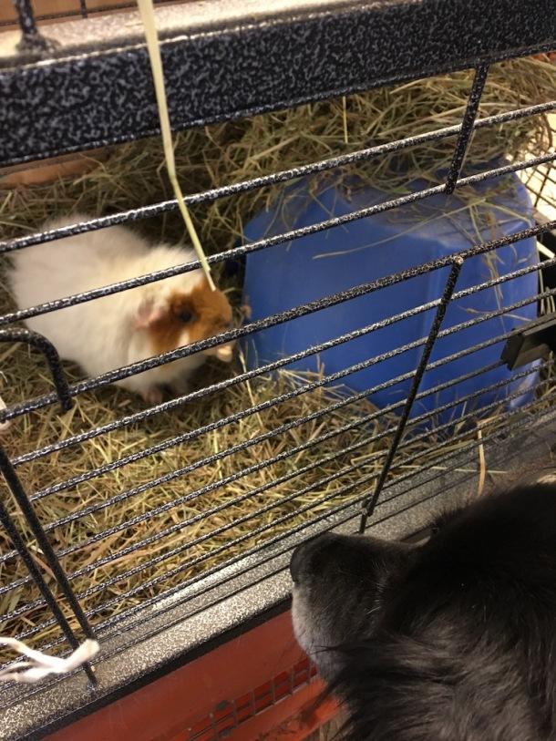 Jake & Taffy pig